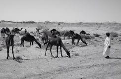 Shepherd. Camels in desert Royalty Free Stock Image