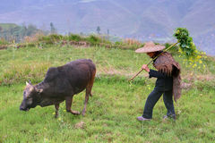 Shepherd in Chinese hat cow grazes mountainous area of China. Royalty Free Stock Images
