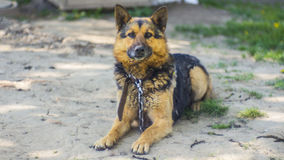Shepherd with collar looking at the camera Royalty Free Stock Photo