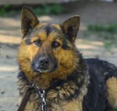 Shepherd with collar looking at the camera closeup Royalty Free Stock Photo