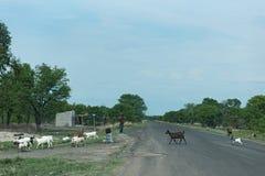 Shepherd com seu rebanho da cabra na estrada M10 entre Kazungula e Sesheke na Zâmbia do sul paralela ao Zambezi River Fotografia de Stock Royalty Free