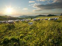 Shepherd con il cane e le pecore che pascono in fiorito in immagini stock libere da diritti