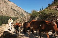 Shepherd con sus vacas en las montañas en valle del golpe violento Imagen de archivo libre de regalías