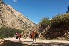Shepherd con sus vacas en las montañas en valle del golpe violento Fotografía de archivo