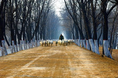 shepherd on country road Royalty Free Stock Image