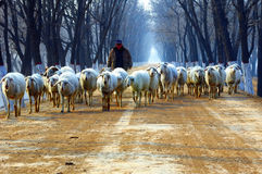 Shepherd on country road. Winter, shepherd on country road Royalty Free Stock Photography