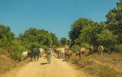 Shepherd with cows on road in Kenya Stock Images