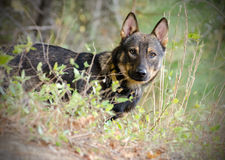 Shepherd Coyote Adoption Photo Royalty Free Stock Image
