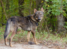 Shepherd Coyote Adoption Photo Royalty Free Stock Images