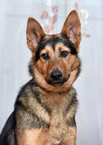 Shepherd crossbreed dog Royalty Free Stock Images
