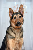 Shepherd crossbreed dog. Close-up portrait Royalty Free Stock Photography