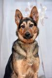 Shepherd crossbreed dog Royalty Free Stock Image