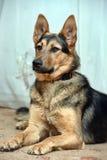 Shepherd crossbreed dog Stock Photography