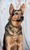Shepherd crossbreed dog Stock Image
