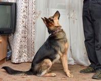 Shepherd crossbreed dog Stock Photos