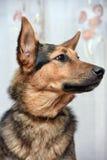 Shepherd crossbreed dog. Close-up portrait Royalty Free Stock Photos