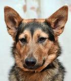 Shepherd crossbreed dog. Close-up portrait Royalty Free Stock Image