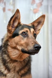 Shepherd crossbreed dog. Close-up portrait Stock Photo