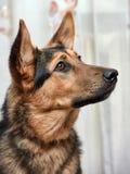 Shepherd crossbreed dog Stock Images