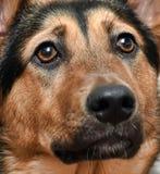 Shepherd crossbreed dog. Close-up portrait Royalty Free Stock Images