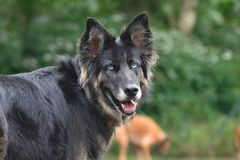 Shepherd Crossbreed Royalty Free Stock Photography