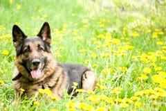 Shepherd with dandelions Stock Image