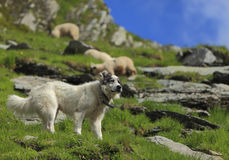 Shepherd dog Royalty Free Stock Images