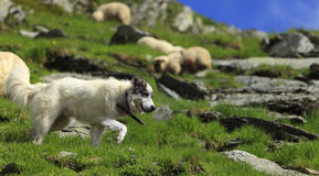 Shepherd dog Stock Photo