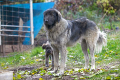 Shepherd dog Royalty Free Stock Images