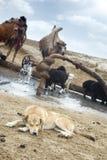 Shepherd dog Stock Image