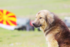 Shepherd dog Royalty Free Stock Photography