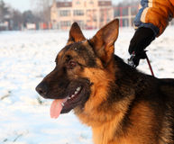 Shepherd dog. German shepherd in a winter afternoon with ears up Royalty Free Stock Photo