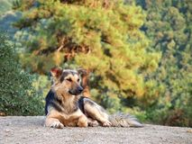 Shepherd dog Stock Image
