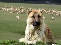 Shepherd dog Stock Images