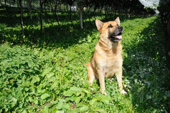 Shepherd-dog Royalty Free Stock Image