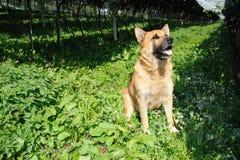 Shepherd-dog Royalty Free Stock Image