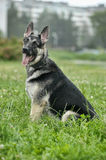 Shepherd Dog Stock Images