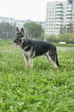 Shepherd Dog Royalty Free Stock Image