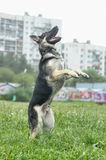 Shepherd Dog Stock Photography