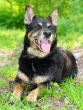 Shepherd dog Royalty Free Stock Photo
