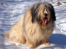 Shepherd dog. Big and gentle shepherd dog Royalty Free Stock Image