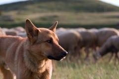Shepherd dog. And flock Royalty Free Stock Images