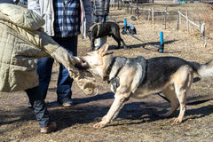 Shepherd dog attacks. And bites during the dog training obedient course stock images
