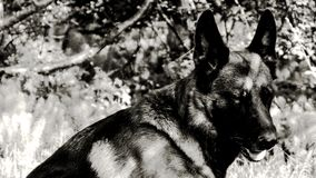 Shepherd dog B&W Royalty Free Stock Images