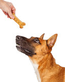 Shepherd Dog Being Rewarded With Treat Royalty Free Stock Photography
