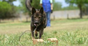 Shepherd dog being trained by his owner in the field 4k