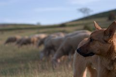 Shepherd dog and blurred flock Royalty Free Stock Photography