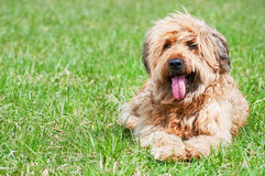 Shepherd dog- briard Royalty Free Stock Photo