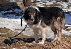 Shepherd dog. In chain at sheepfold stock photo