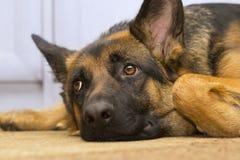 Shepherd dog closeup. Dreamy gaze of a lying shepherd dog. Also looking annoyed Royalty Free Stock Image